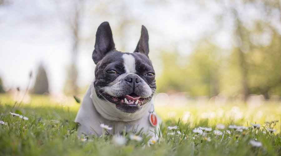 Boston Terrier Mixs: 20 de rase diferite pe care le iubim