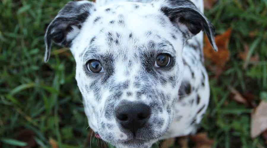 Dalmatian Mixes: 20 Amazing Spotty Crossbreed Pups