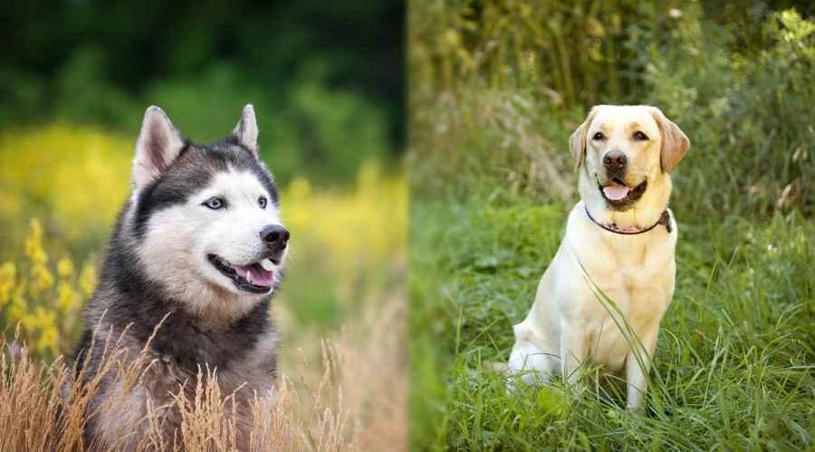 Sibirya Kurdu vs Labrador Retriever: Ailen İçin Hangisi Daha İyi?