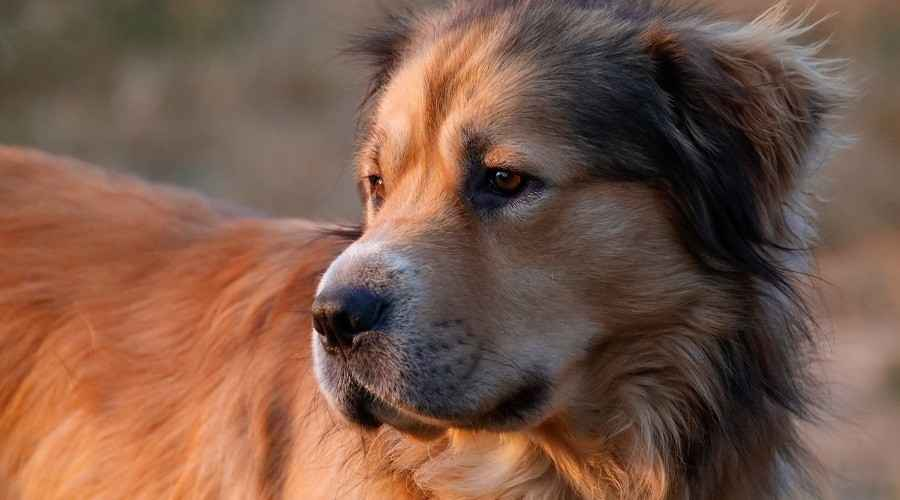 Alman Çoban Golden Retriever Mix: Irk Bilgisi