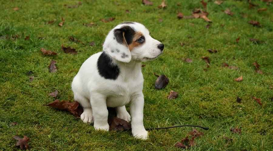 Beagle Jack Russell Terrier Mix: Informations sur la race Jack-A-Bee