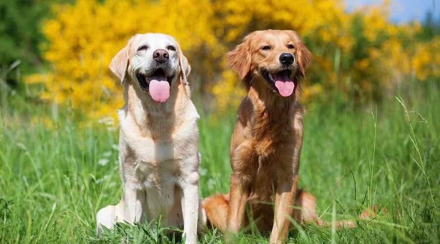 Golden Retriever vs. Labrador Retriever: Apa Bedanya?