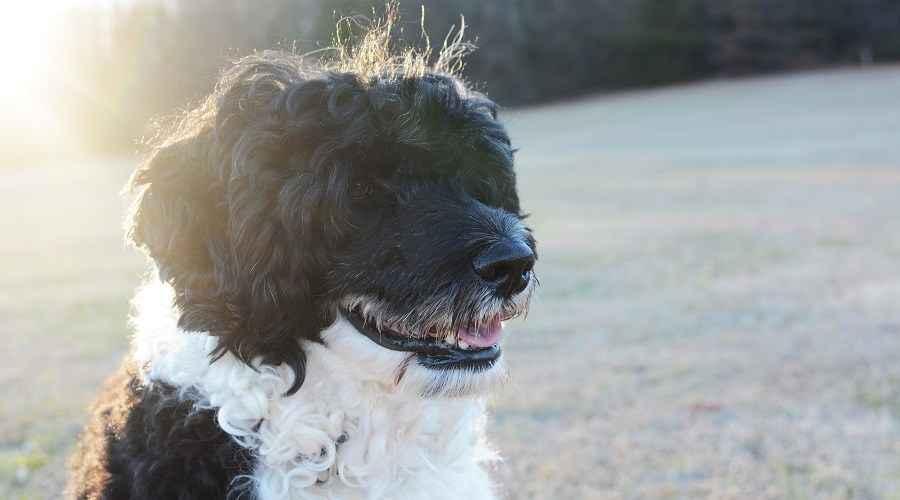 Trah Anjing Hipoalergenik Terbaik: 20 Trah Berbeda yang Tidak Tumpah
