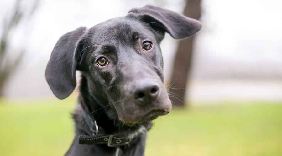 Great Dane Labrador Retriever Mix: Labradane Breed Πληροφορίες