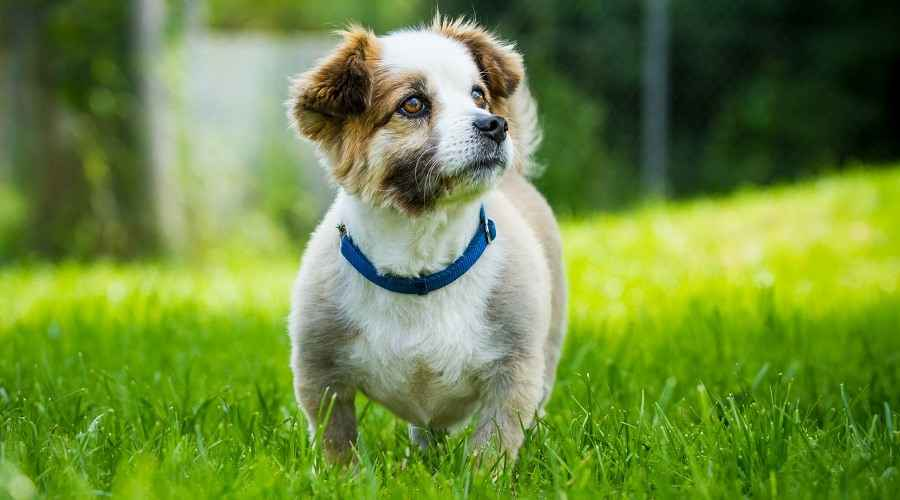 Corgi Beagle Mix: Informations sur la race Beagi, traits, tempérament et plus