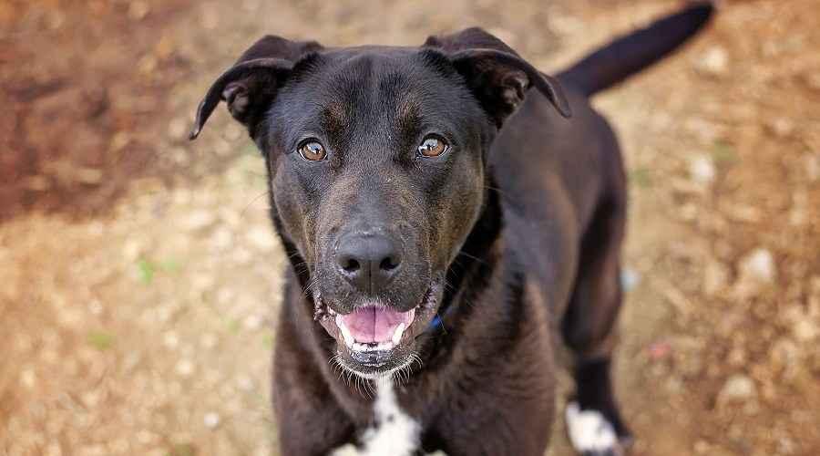 Mix de pastor alemany Labrador Retriever: cadells de Sheprador, preus i molt més