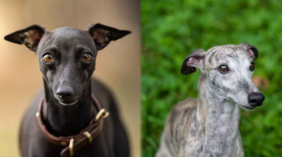 Greyhound อิตาเลียนกับ Whippet: ความแตกต่างและความคล้ายคลึงกันของสายพันธุ์