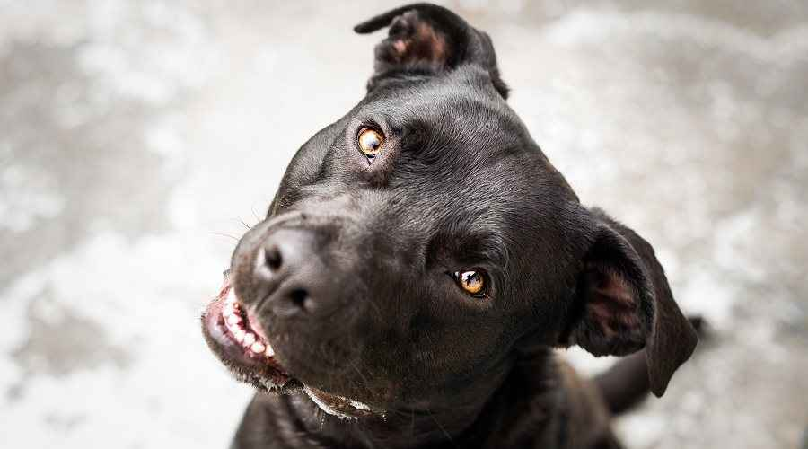 Pitbull Labrador Retriever Mix: AKA Labrabull ou Pitador Breed Info