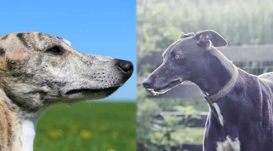 Whippet vs. Greyhound: diferències de raça i similituds
