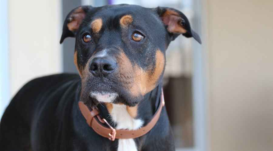 Rottweiler Pitbull Mix: All About The Pitweiler (Breed Information & Pictures)