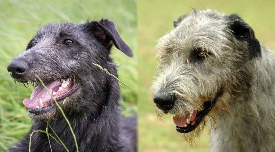 Scottish Deerhound vs Irish Wolfhound: quelle est la différence?