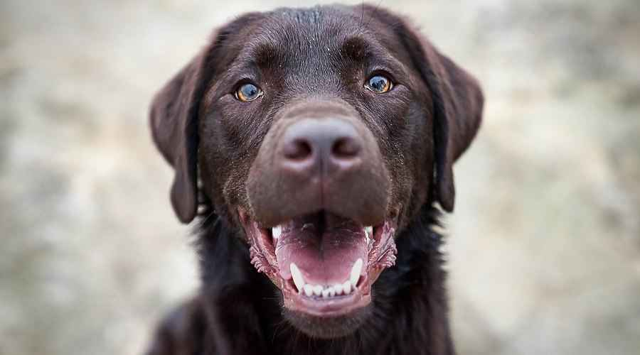 Labrador Retriever Dog Breed Informasi, Temperamen & Lainnya