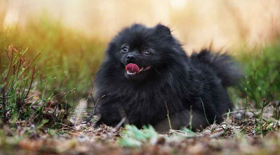 Black Pomeranians: History, Genetics, Pictures & More