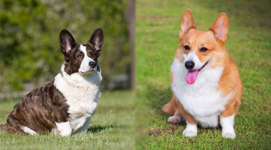 Cardigan Welsh Corgi vs. Pembroke Welsh Corgi : 차이점은 무엇입니까?