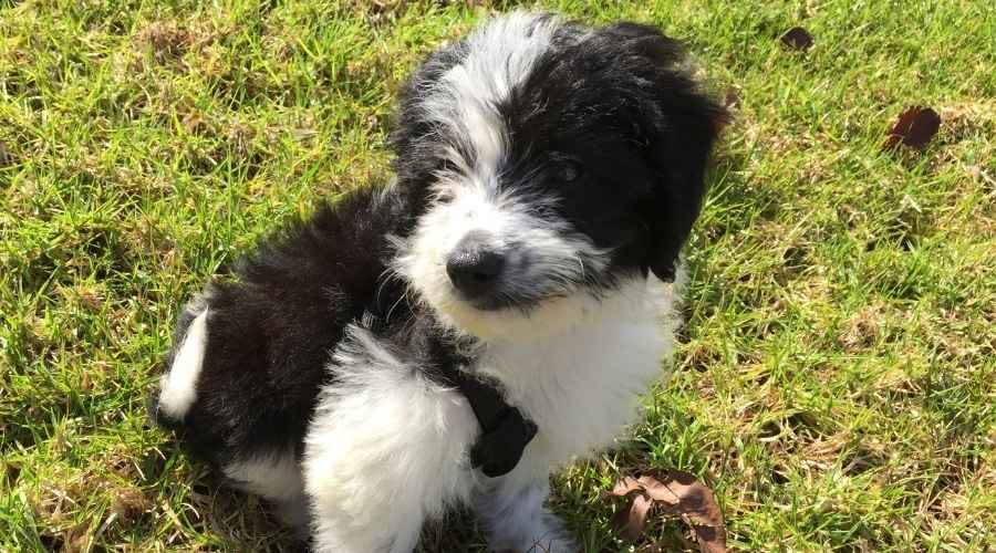 Border Collie Poodle Mix: Impormasyon sa Bordoodle na Lahi