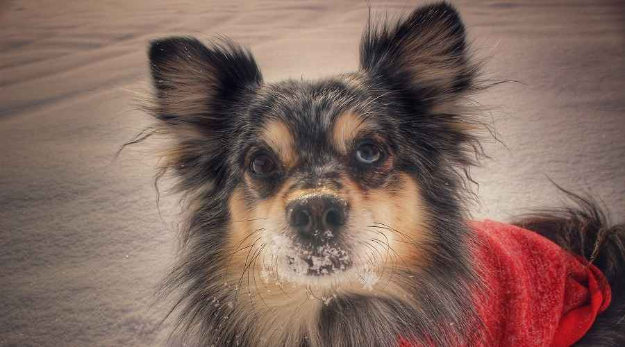 Australian Shepherd Pomeranian Mix: Aussie Pom Breed Facts