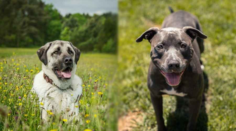 Anatolian Shepherd vs American Pitbull Terrier: différences de race