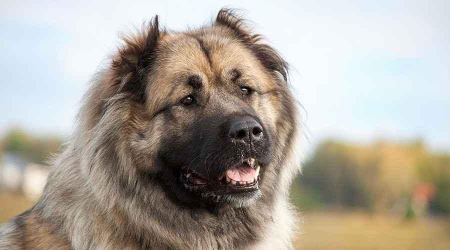 Ruský medvěd: Informace o plemeni kavkazského ovčáka, štěňata a další