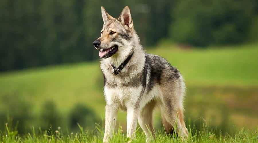 Wolf Like Dog Breeds: 18 διαφορετικές φυλές που μοιάζουν με λύκους