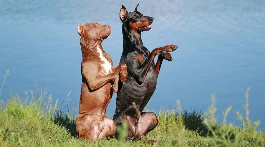 Dobermani ja Pitbulli temperament