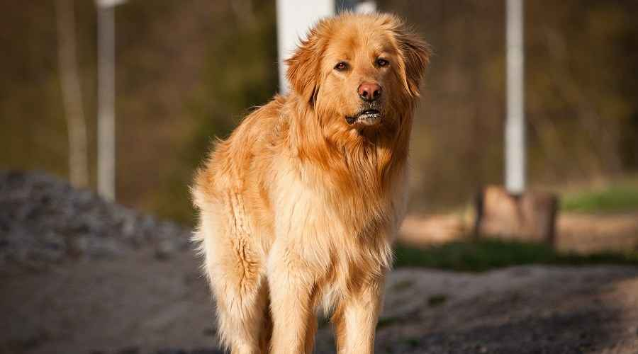 Danua Golden Retriever Mix