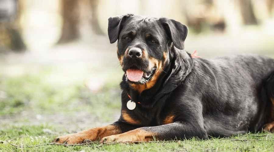 Rottweilers: què és bo i dolent (comportament, temperament i molt més)