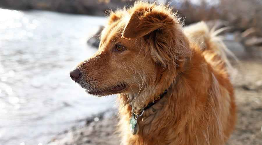 Australian Shepherd Golden Retriever Mix: ข้อมูลพันธุ์