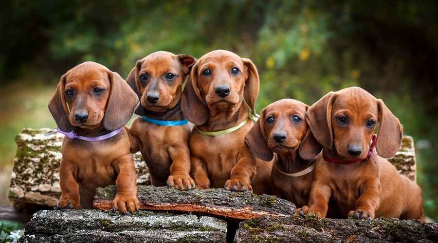 Informations sur la race de teckel (Weiner Dogs): Poil long, poil court et plus