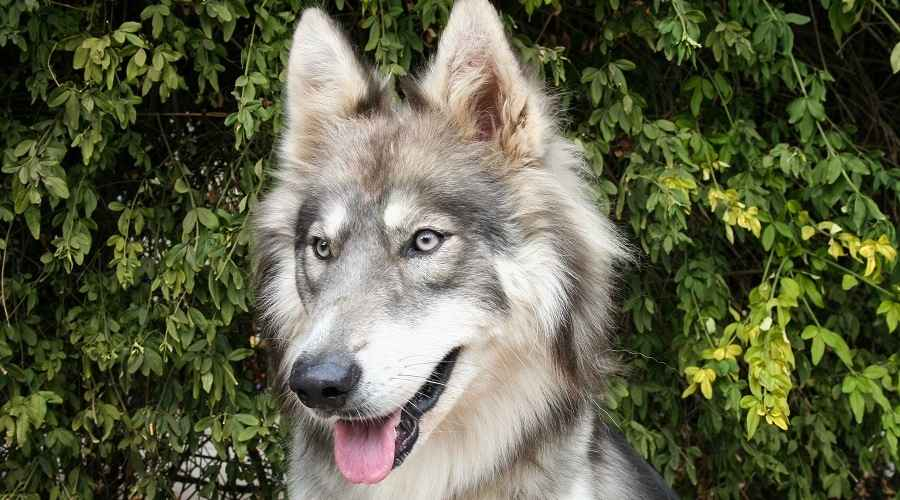 Siberian Husky Wolf Mix: Can You Own An Exotic Wolfdog Hybrid?