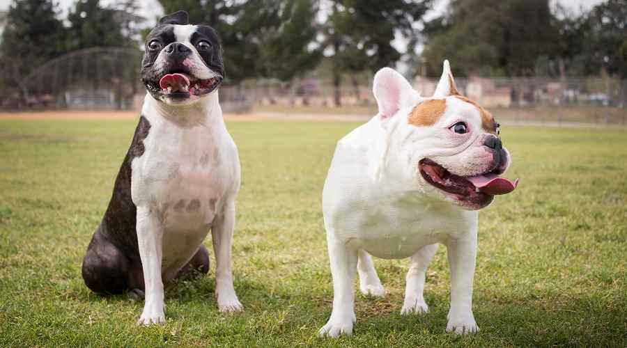 Boston Terrier vs. Bulldog Francês: comparação de raças de cães