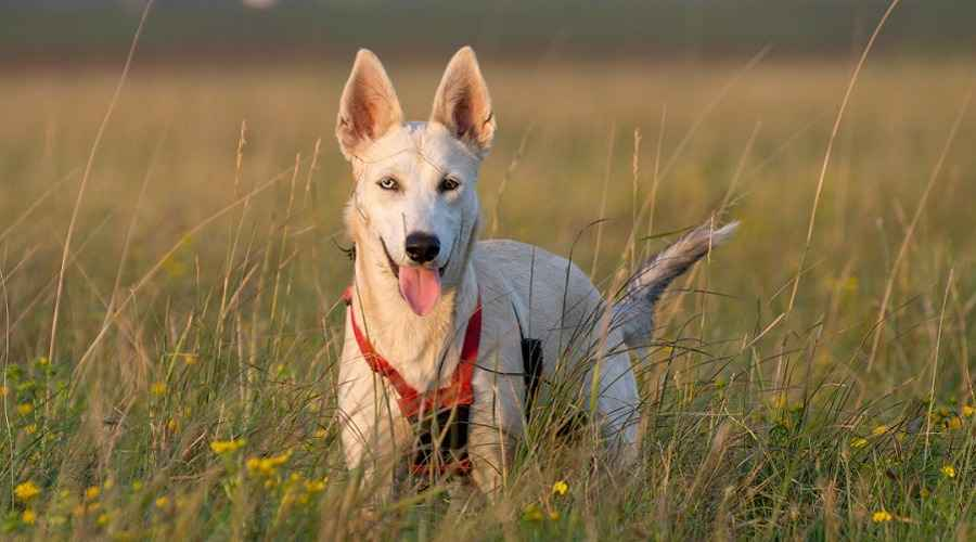 German Shepherd Husky Mix: Gerberian Shepsky Rasinformation