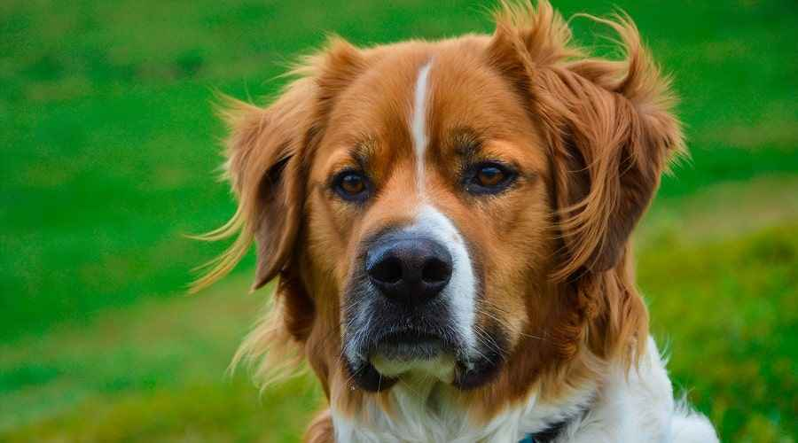 Saint Bernard Mixes: 15 Cold Weather Friendly Crossbreeds