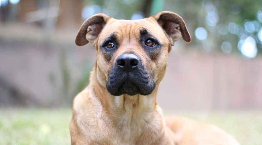 Great Dane Boxer Mix: Informasi Breed Boxane, Sifat & Lainnya