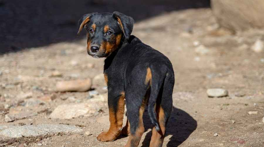 German Shepherd Rottweiler Mix: Shepweiler Breed Information