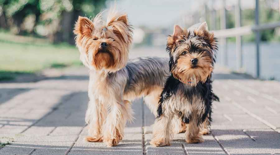 Yorkshire Terrier 101: Yorkie raceinformation, træk og temperament