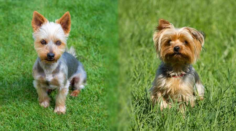 Silky Terrier vs. Yorkshire Terrier: diferències i similituds