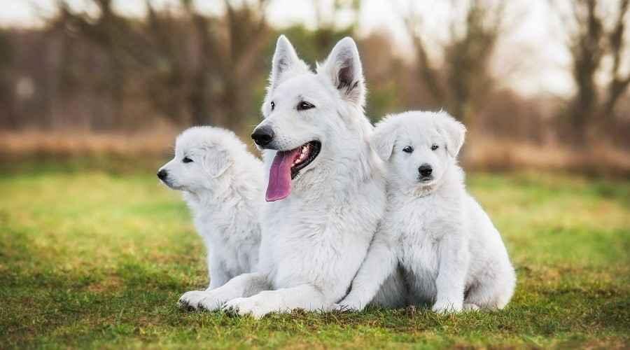 Races de gossos blancs: 31 cadells grans i petits amb abrics curts o esponjosos