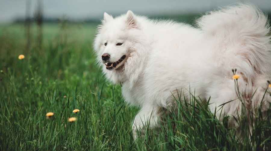 White Samoyed Playing