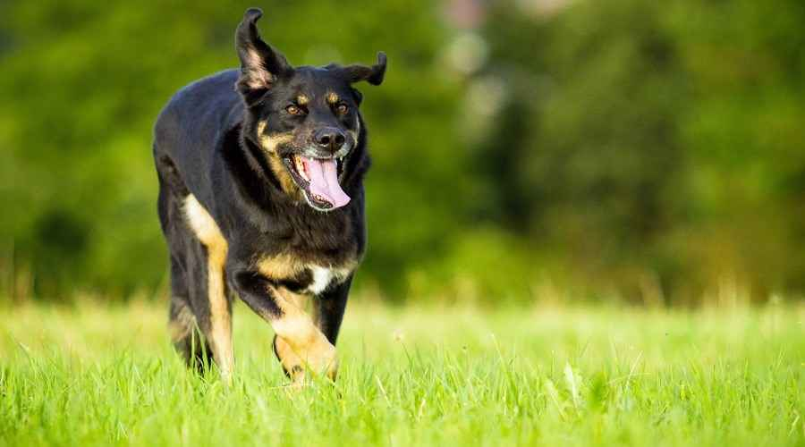 Border Collie Rottweiler Mix: Border Rottie Race Information
