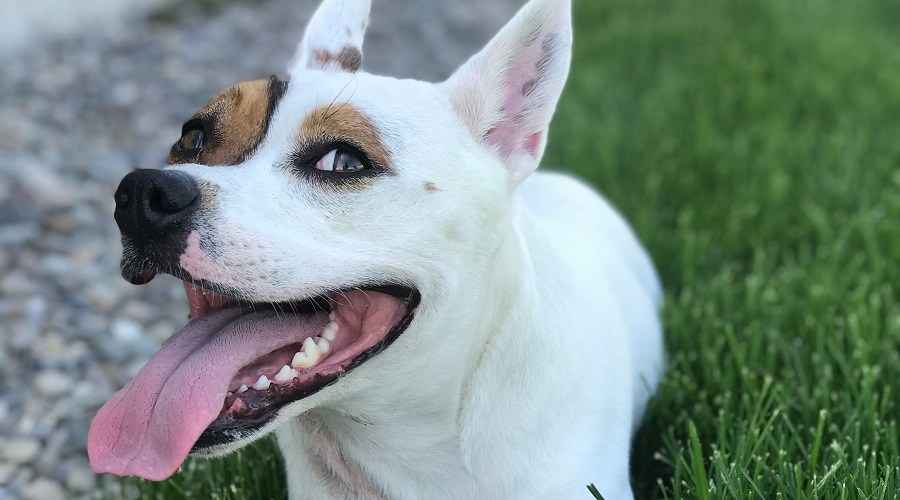 Informations sur la race Pitbull Corgi Mix: The Corgi Pit