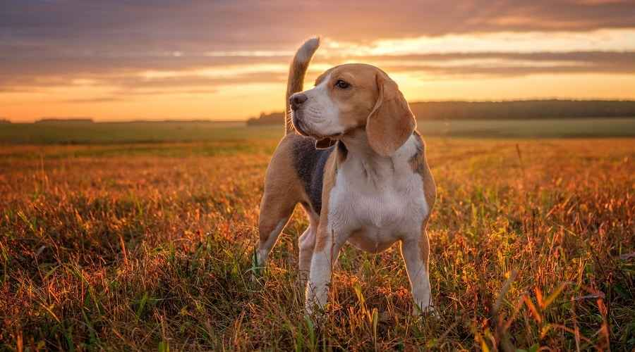 Beagle Dumb Dog Breed