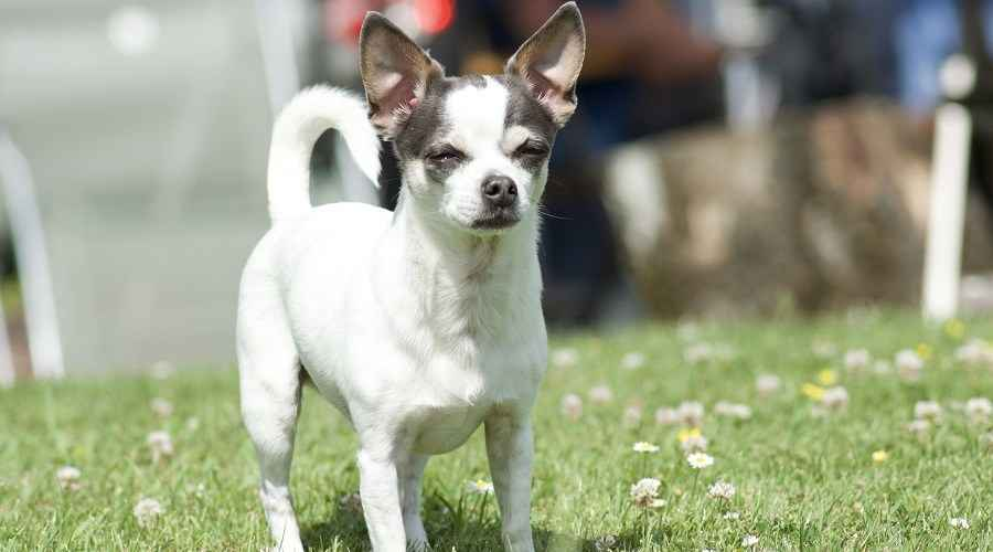 Jack Russell Terrier Chihuahua Mix: All About The Jack Chi