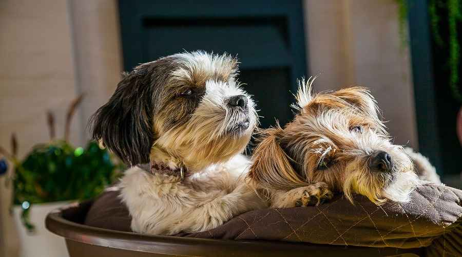 Lhasa Apso vs Shih Tzu: differenze di razza e somiglianze