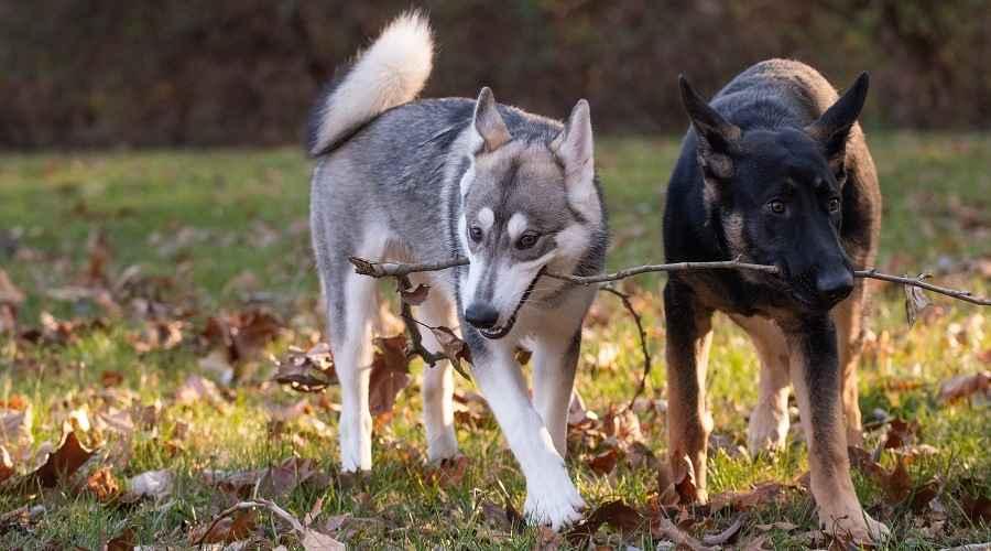 Немска овчарка срещу сибирско хъски: разлики и прилики