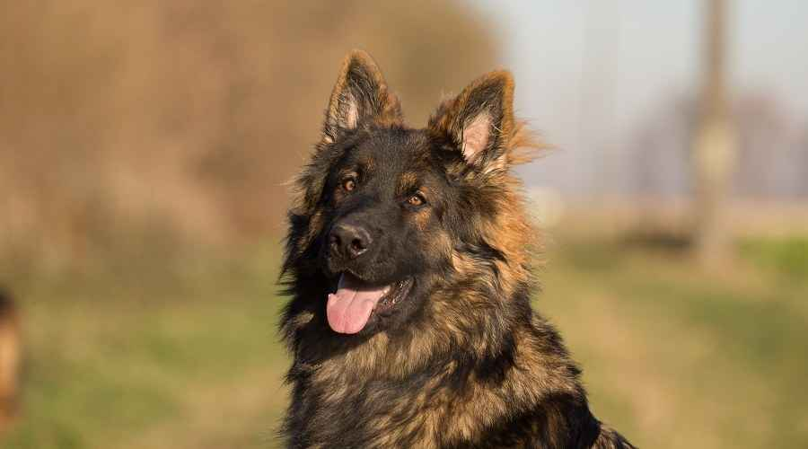 Langhåret tysk hyrde: Fluffy Coat GSD Genetics & Puppy Costs