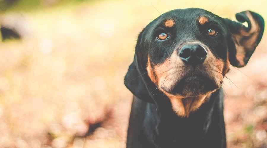 20 mélanges de rottweiler impressionnants: nos races croisées de rottie préférées