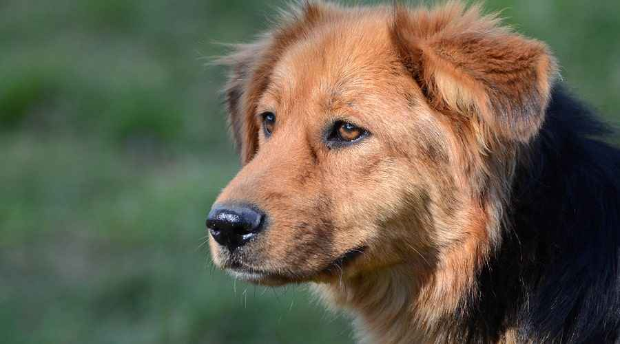 Mix Golden Shepherd