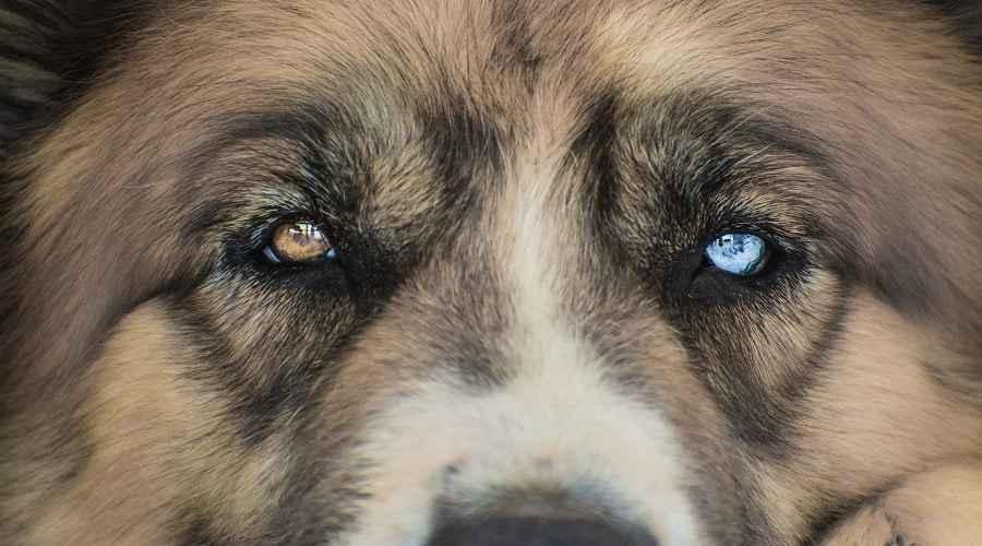 Saint Bernard Siberian Husky Mix: Impormasyon sa lahi ni Saint Berhusky