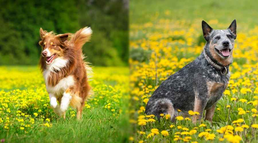 Australian Shepherd vs Australian Cattle Dog: différences et similitudes