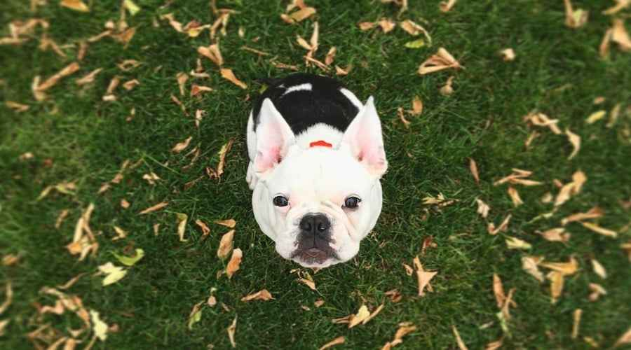 French Bulldog Mops Mix: Frug Breed Information & Übersicht